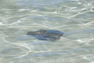 Скатики тоже постоянно отираются около берега.