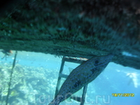 Рыба-напильник