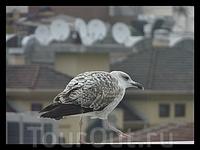 чайка-турчанка=)