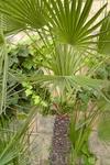 Плодоносят и пальмы. Повсюду просто буйство красок...