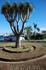 Драконовое дерево у входа в Лоро парк.