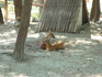 Косули-красавицы.Животные здесь ухоженные, спокойные, выглядят благополучно.По количеству видов парк очень разнообразен, в основном птицы и млекопитающие ...