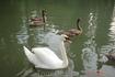 Новый Афон, Лебеди