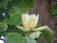Цветки тюльпанового дерева