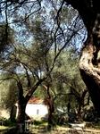 оливковая роща близь пляжа Жанице. 15 минут на катере от Херцег-Нови. очень чистое море.