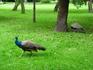 небольшой парк в Праге, и там гуляют павлины