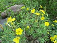 Цветы долины р. Малый Агул. Растут приимущественно вдоль берега.