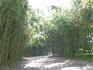 Бамбук в Ботаническом саду.