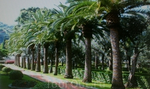 Фрагмент сада. Пальмовая аллея.