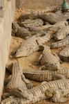 Зоопарк\ крокодилы - подростки