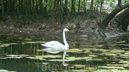 в зооуголке живет одинокий белый лебедь