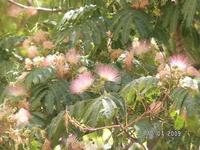 Это мое любимое крымское растение: шелковая акация. Она цветет розовыми метелками и пахнет так, будто распахнули дверь в парфюмерную лавку позапрошлого ...