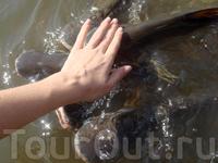 в каналах реки Чао Прая живет очень много рыбы, особенно около Храмов, где ловить рыбу запрещено. Рыбу возле храмов кормят хлебом, наверно поэтому она ...