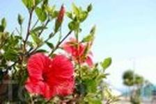 Эти цветы везде! Их аромат пропитал воздух побережья :)