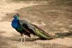 А если выбудете на Родосе в апреле, и посетите гору Филеримос, то сможете увидеть огромное количество этих красивейших птиц, и услышать их незабываемые ...