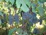 Искитанский виноград
