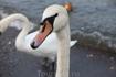 Лебеди очень нахальные, как только видят корм в руках, идут на тебя с угрожающим шипением, пока все не съедят не успокаиваются:)