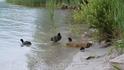 Утиная семья на озере