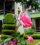 прекрасные розы Мармарисы