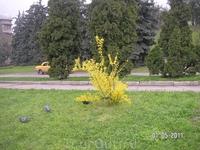 такие желтые кусты встречались нам и в Кисловодске и в Пятигорске; очень живописны на зеленом фоне