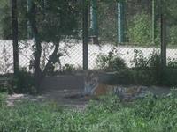 А вот и тигры!