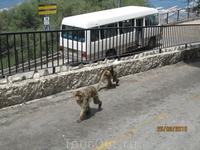 На экскурсии в Гибралтаре. Вот такие обезьяны - местная достопримечательность горы!