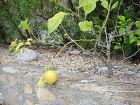 лимон около дома рос...
