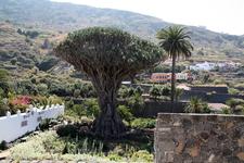 драконовое дерево - 1000 лет, гид сказал, врут,  700