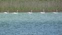 Стройными рядами мимо проплывали лебеди...