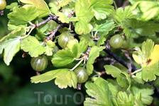 В Аурланде много ягод, сладкий крыжовник, в том числе