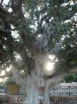 фикус Сикамура,его возраст более 600 лет.расположен у входа в монастырь