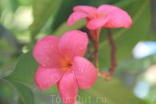 Плюмерии всевозможных цветов и ароматов