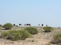 А затем и вовсе сбежали. Скажу честно бег страусов выглядит внушительно, как и сами птицы. На дороге у них как-то становиться не хочется