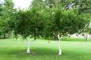 лимонные деревца