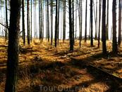 Лес на Куршской косе