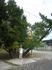 Прогулка по Головинке. В моем представлении сосна это стройное одноствольное дерево. А в Большом Сочи не один раз увидела 3-5 ствольные сосны как громадные ...