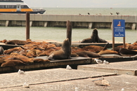 Тот самый пирс 39, на которым отдыхают морские львы и тюлени. Зрелище премилейшее