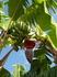 Цветок бананов. Самое интересное, что бананы завезли на Кубу совсем недавно - если не ошибаюсь в 19 веке, а до этого их там вообще не было.