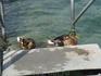Вот такие уточки встречают тебя, когда заходишь в воду :)))