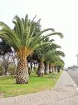 Пальмы - особая гордость марокканцев. В стране по закону запрещена вырубка пальм и других деревьев, а потому вдоль улиц и дорог высятся вот такие крас