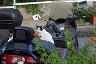 местные кошаки любят мотоциклы