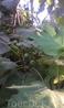 смоквы, или фиги, они же инжир