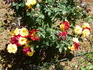 разноцветие розариев