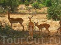 Ну вот и антилопы,куда же без них!Эти почти ничего не боятся,не видят в нас угрозу и продолжают заниматься своими,антилопьими,делами.