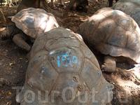 гигантские черепахи