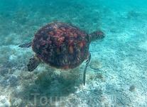 Одна из черепах, постоянных посетительниц рифа.