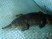 самый большой и самый старый крокодил Паттайи