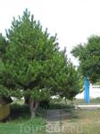 на территории много плодовых деревьев, сосен, грецких орехов