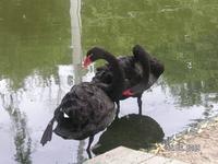 лебеди чёрные...