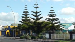Опять таки часто встречали по дороге такие деревья...как будто детский рисунок елочки...